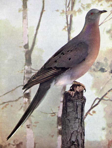 Passenger Pigeon photo by Ruthven Deane 1898