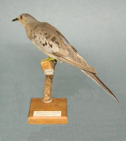 A female passenger pigeon in the collection of the Whanganui Regional Museum in New Zealand