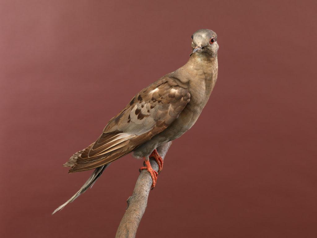 Passenger Pigeon mount